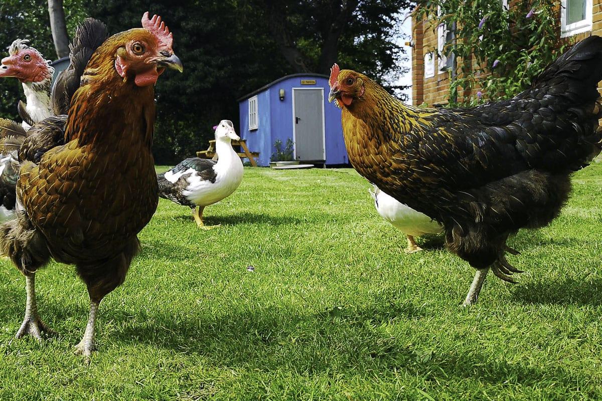 YHA Wooler Chickens